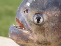 Piranha (round and big) in the Pantanal Close-up